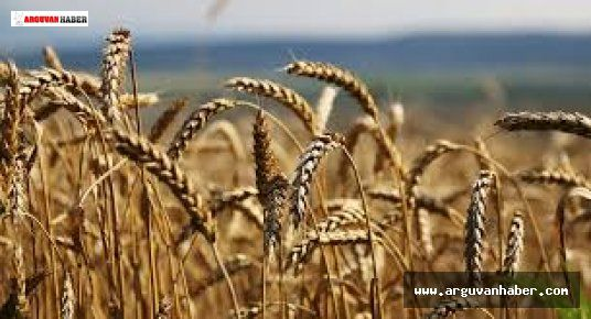 Buğday ve arpada açıklanan alım fiyatları, girdilerdeki artışın gerisinde kaldı